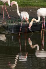 Poster Parrot Flamingo's
