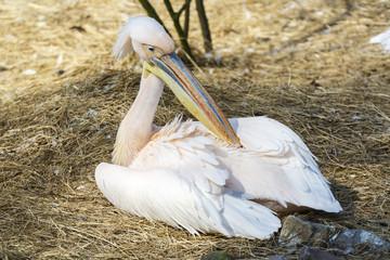 Poster Parrot Roze pelikaan