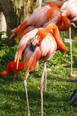 Poster Parrot Cubaanse flamingo