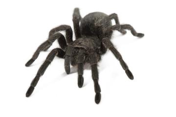 Black Tarantula - Grammostola Pulchra