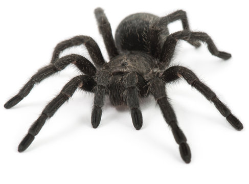 Tarantula Spider- Grammostola Pulchra