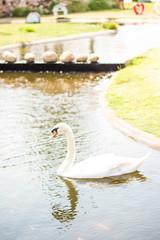 White goose in river