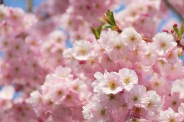 Kirschblüte rosa - cherry blossom 51