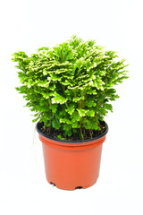 Selaginella in red pot