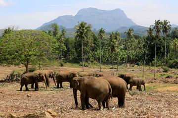 Elephants in park Pinawella