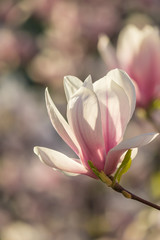 magnolia flowers on a blury background