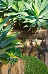 cactus and agava at tropical garden