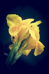 Vintage  Canna flowers