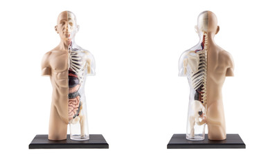 Figure Cross-Section Diagram Of Human Body - Bones and Organs