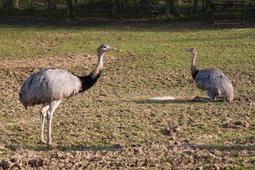 Autruches d'Afrique - Struthio camelus