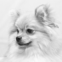 black and white portrait of a dog Spitz