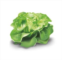 Green lettuce. Vector illustration.