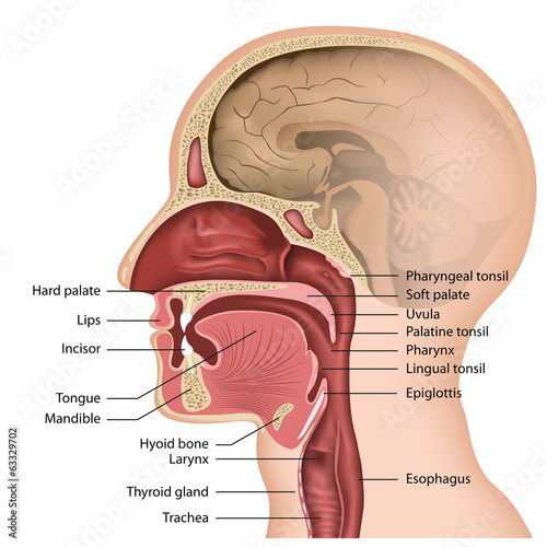 Nasal And Oral Pharynx 34