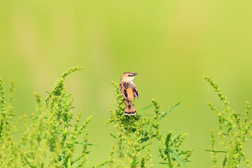 The Zitting Cisticola or Streaked Fantail Warbler