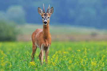 In de dag Ree Roe deer