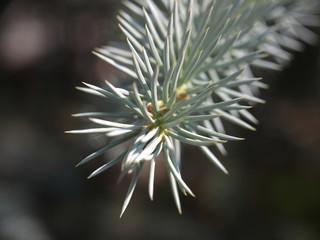 silver fir branch
