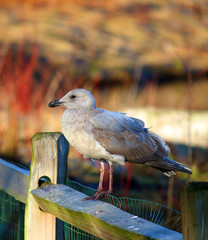 Seagull sitting on fence