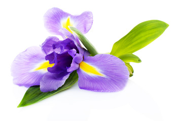 Spoed Fotobehang Iris Beautiful iris flower isolated on white