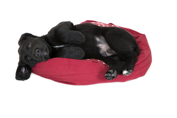 Adorable young black labrador puppy begging laying down
