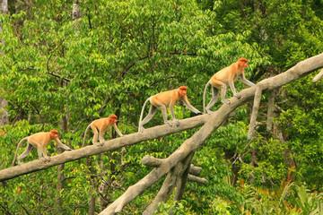 Proboscis monkeys on a tree, Borneo, Malaysia