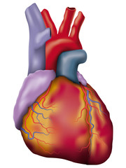 Human heart detailed vector illustration