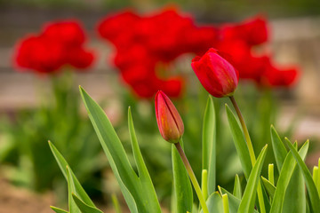 two red tulip on color blurred background