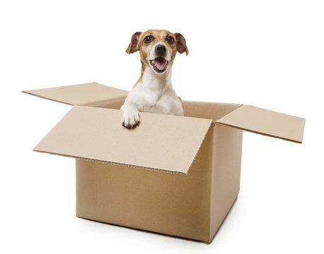 box screaming dog