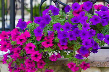 Basket of hot pink and violet petunias