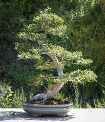 Elm Bonsai Tree