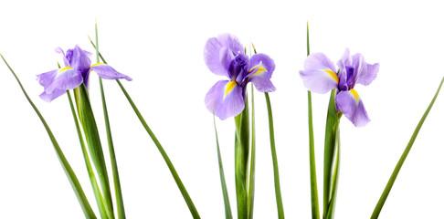 Foto op Plexiglas Iris Beautiful iris flower isolated on white