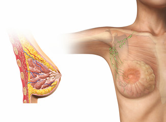Woman breast cutaway diagram.
