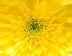 beautiful background of yellow flower