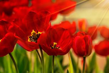 orange tulip on color blurred background