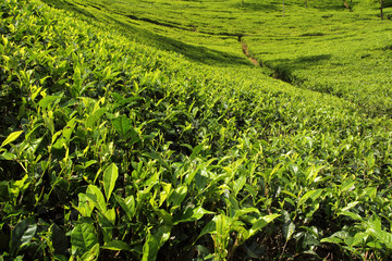Wall Mural - tea leaves growing on tea plantation