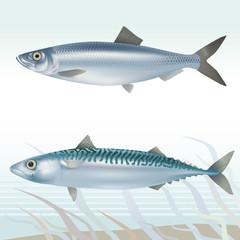 Fish: herring and mackerel. Vector illustration.
