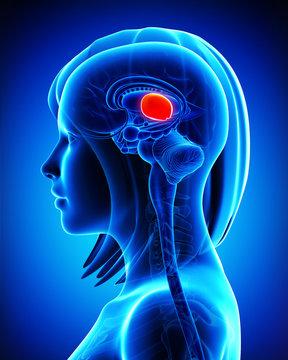Anatomy of female Brain  MIDBRAIN cross section