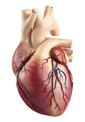Front view  Anatomy of heart interior structure