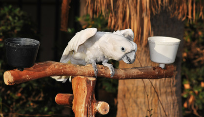 Cockatoo Acting Angrily