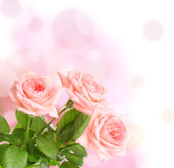 Pink roses on bright background