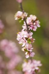 Blooming plum in spring .
