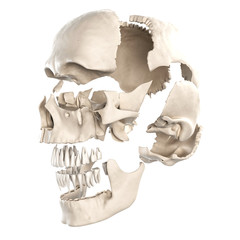 anatomy illustration showing the parts of the human skull