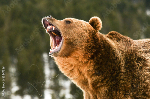 Wall mural Grizzly Bear
