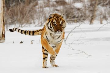 Wall Mural - Jumping Tiger