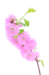 Pink cherry flower isolated on a white background