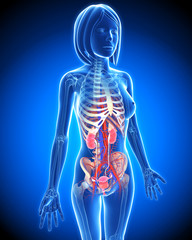 Anatomy of female Urinary system in blue