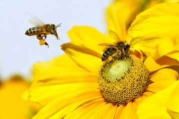 Bee in flight and Dahlia Garden (Dahlia Cav.)