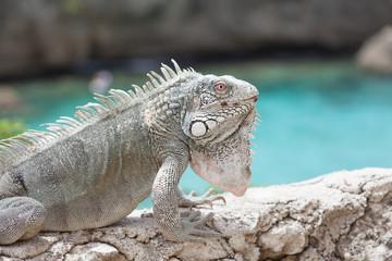Green Iguana's Reptiles at Lagun Beach Curaca caribbean island