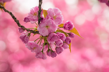 pink cherry blossom flowers