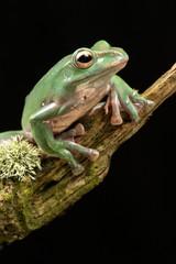 Vietnamese Blue Flying Frog