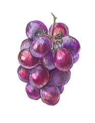 grape vine, felt-tip pen sketch